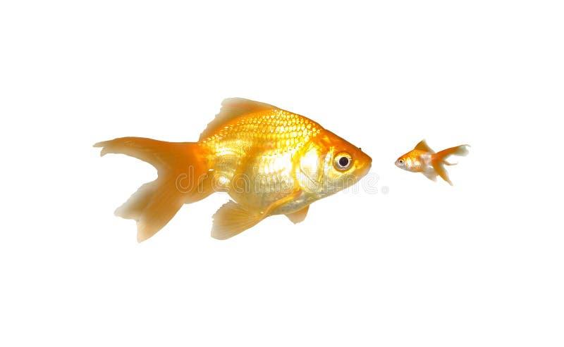 сила goldfishes большая малая стоковое фото