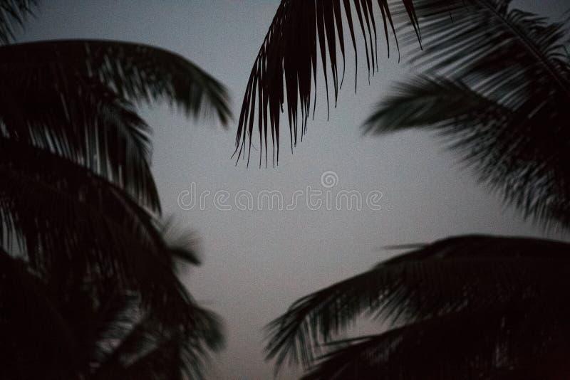 Силуэта тени предпосылки пальмы кокос лист черно-белого красивый на картине ветви нерезкости природы пляжа темной на день на t стоковая фотография rf
