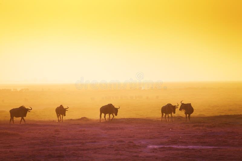 Силуэты антилоп гну над саванной захода солнца стоковые фото