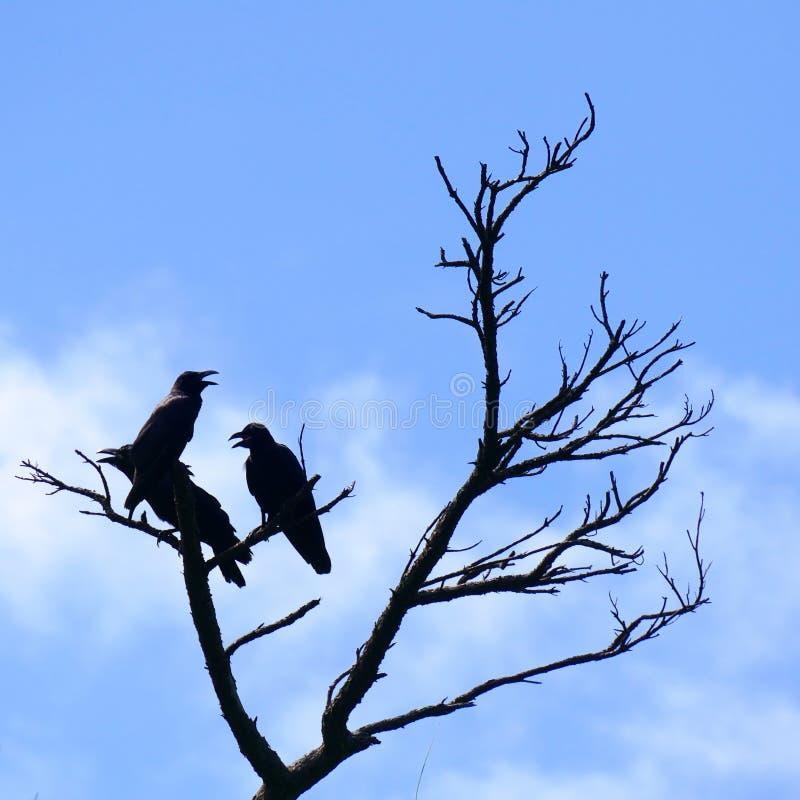 Силуэты 3 ворон садить на насест на мертвом дереве, Zamami, OkinawaSilhouettes 3 ворон садить на насест на мертвом дереве стоковые изображения