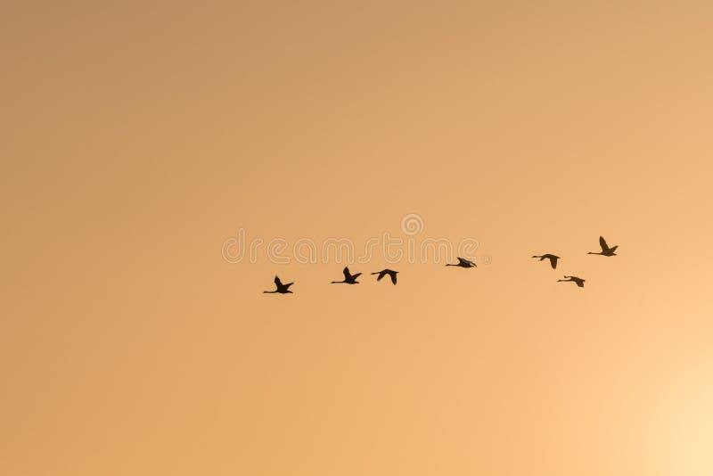 Силуэты лебедей летания покрашенным небом стоковое фото rf
