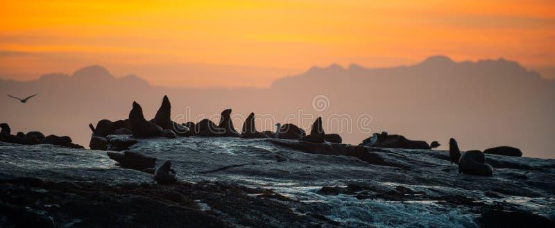 Силуэты уплотнений против восхода солнца на острове уплотнения, острове уплотнения на восходе солнца стоковое изображение rf