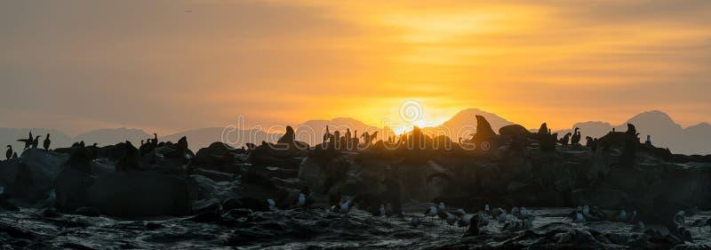 Силуэты уплотнений против восхода солнца на острове уплотнения, острове уплотнения на восходе солнца стоковые изображения rf