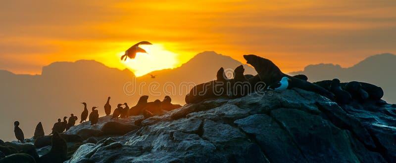 Силуэты уплотнений против восхода солнца на острове уплотнения, острове уплотнения на восходе солнца стоковые фотографии rf