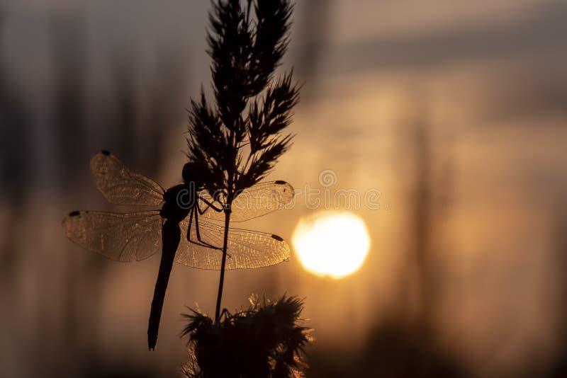 Силуэт большого dragonfly сидя на заводе против фона заходящего солнца стоковая фотография rf