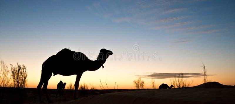 Силуэт верблюда на заходе солнца в пустыне Сахары, Туниса стоковая фотография rf