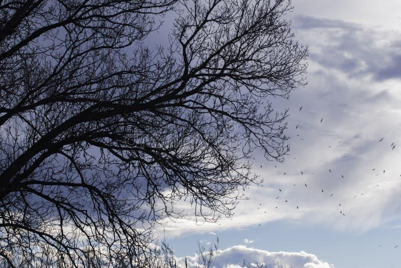 Силуэт ветвей дерева при облака и птицы летая в небо стоковое изображение rf