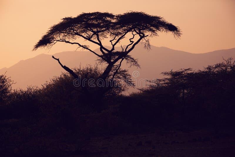 Силуэт дерева акации в африканском заходе солнца стоковые изображения