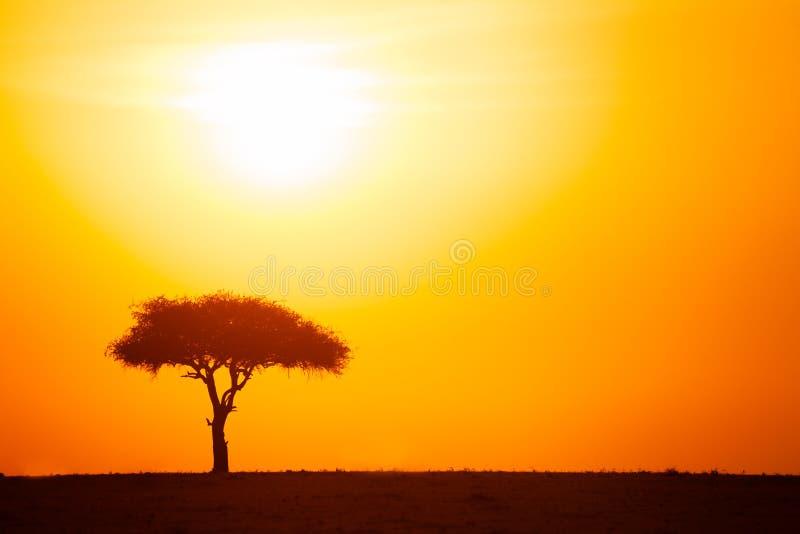 Силуэт дерева акации против драматического захода солнца стоковая фотография rf