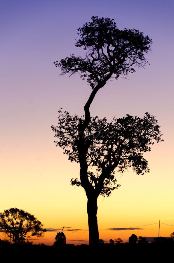 Силуэт дерева с солнцем за деревом стоковые изображения rf