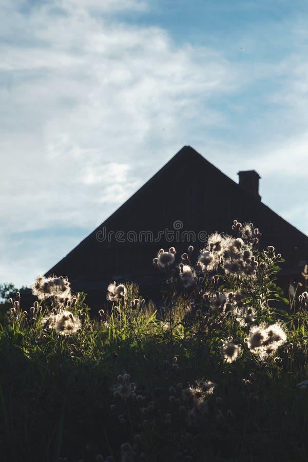 Силуэт загородного дома с камином за пушистыми белыми полевыми цветками снятыми против света захода солнца на облачном небе стоковое фото
