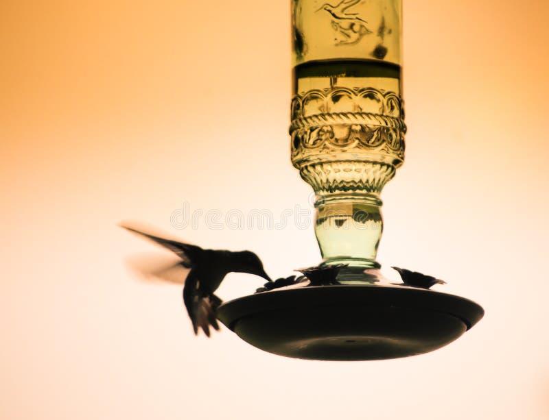 Силуэт колибри завиша и подавая от стеклянного фидера стоковое фото rf