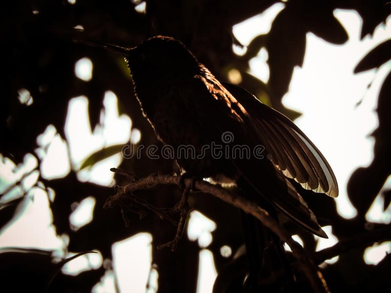 Силуэт колибри стоковые фотографии rf