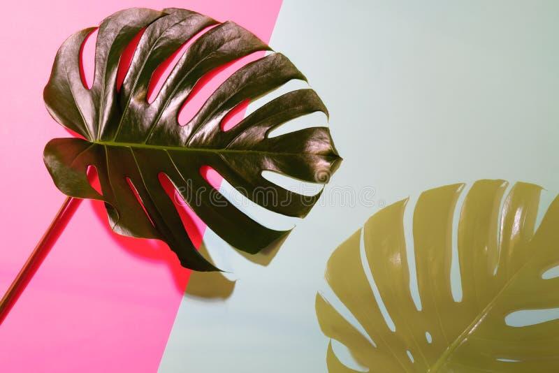 Силуэт лист monstera внутри освещает контржурным светом на коралле и серой предпосылке стоковая фотография