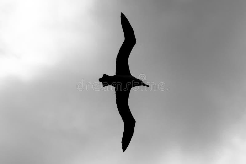 Силуэт Лэйсана Альбатроса В Полете На Национальный Убежище дикой природы Джеймса Кэмпбелла, Оаху, Гавайи, США стоковая фотография