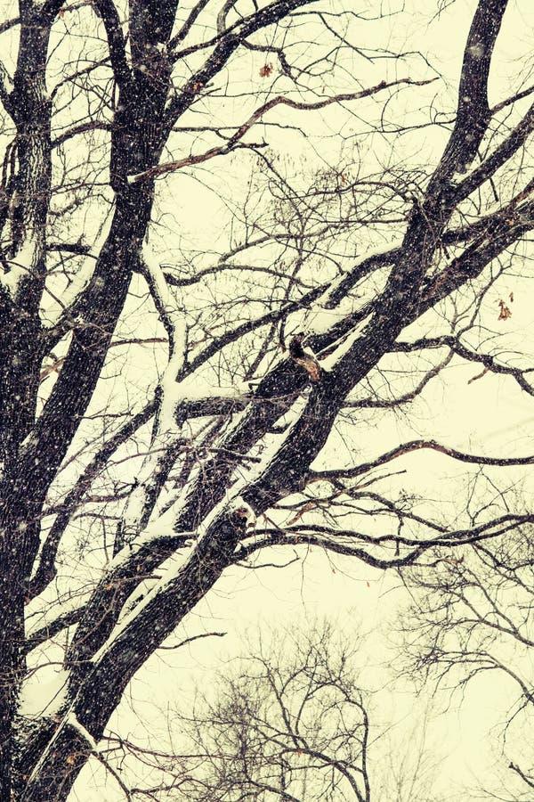 Силуэт нагого дуба, без листьев, снег падает, VI стоковая фотография
