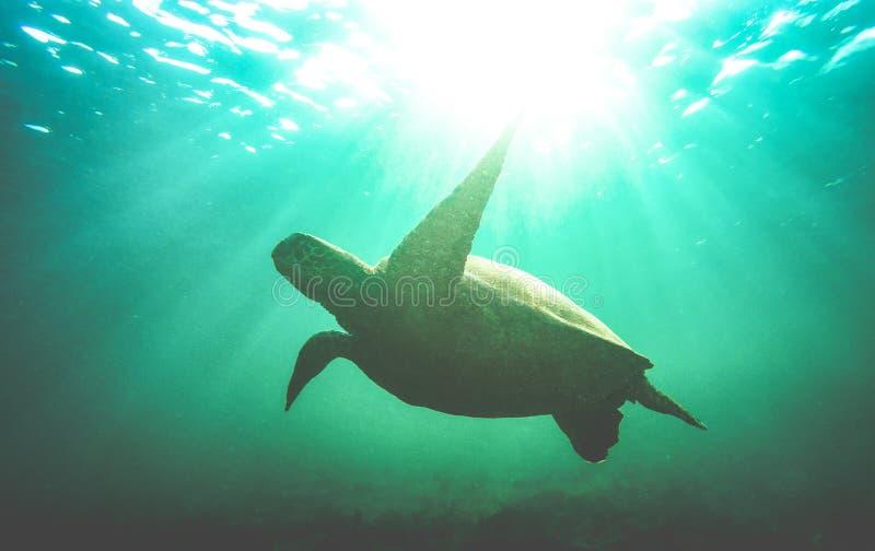 Силуэт плавания морской черепахи подводный в национальном парке Галапагос - животной концепции охраны окружающей среды на отклоне стоковое фото rf