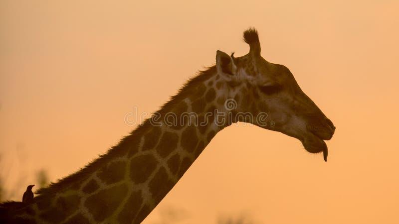 Силуэт портрета жирафа в оранжевом свете после полудня стоковая фотография rf