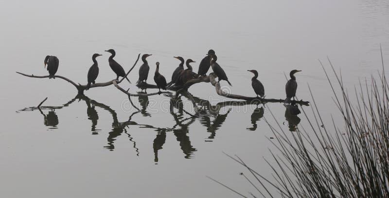 Силуэт птицы бакланов стоковая фотография rf