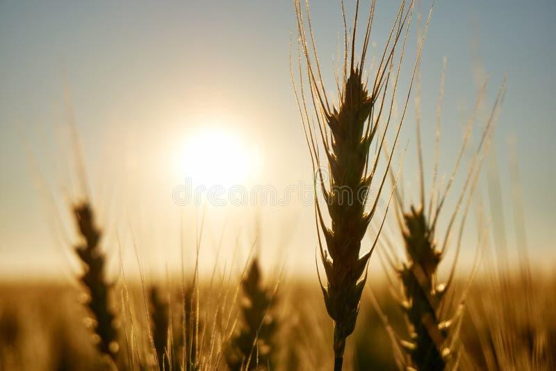 Силуэт пшеницы засаживает подсвеченное по солнцу на заходе солнца стоковая фотография rf