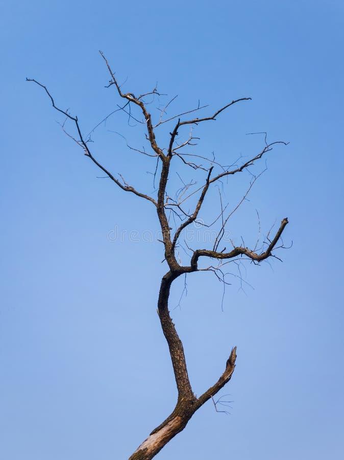 Силуэт сиротливого обнаженного дерева изолированного на предпосылке голубого неба Абстрактные сухие ветви вербы, драматическая ес стоковая фотография