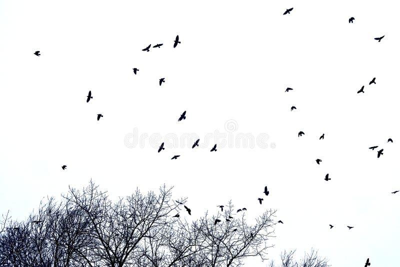Силуэт стада ворон в полете над верхними частями дерева, изолированного на белизне стоковые фотографии rf