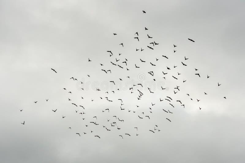 Силуэт стада черного летания птиц в пасмурной серой погоде стоковая фотография