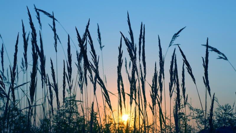 Силуэт травы в поле на заходе солнца изумляя природа и ландшафты стоковые фото