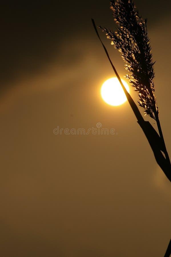 Download силуэт травы стоковое фото. изображение насчитывающей лето - 492478