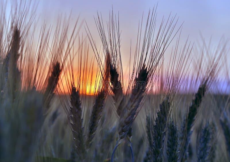 Силуэт ушей пшеницы после крупного плана захода солнца стоковые изображения