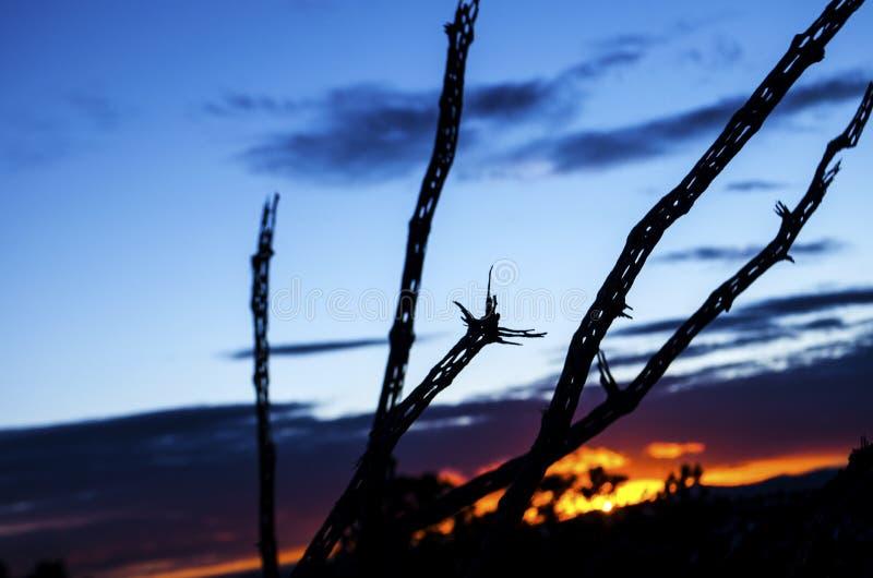 Силуэт цветов захода солнца скелет решетки мертвого кактуса cholla на юго-западе пустыни стоковое изображение rf