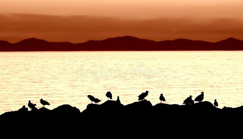 силуэт чайки стоковые фотографии rf