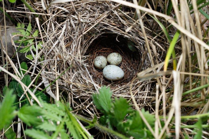 Сильвия communis Гнездо Whitethroat в природе Общий c стоковое изображение