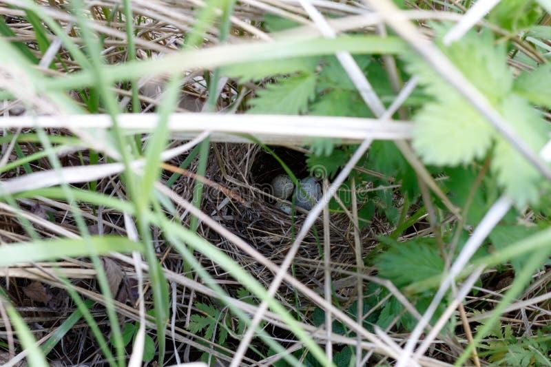Сильвия communis Гнездо Whitethroat в природе Общий c стоковая фотография