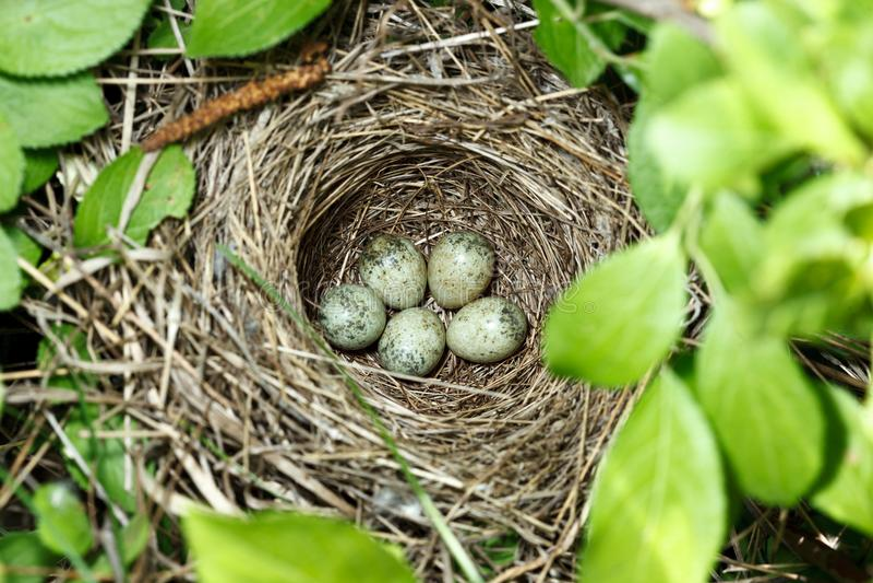 Сильвия communis Гнездо Whitethroat в природе стоковые фото