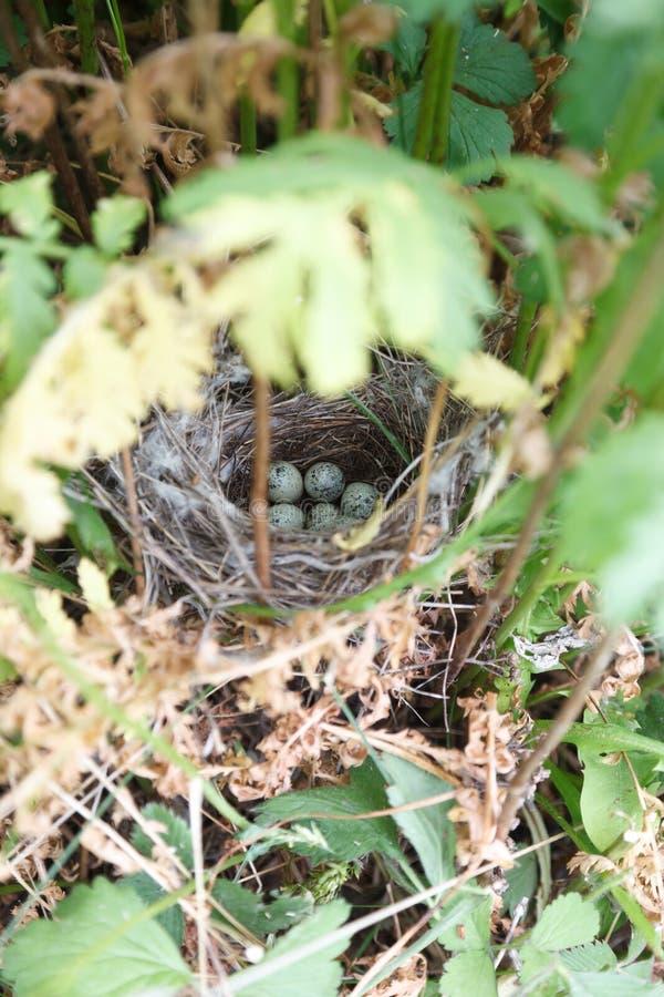 Сильвия communis Гнездо Whitethroat в природе стоковая фотография