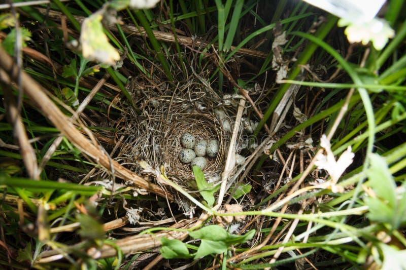 Сильвия communis Гнездо Whitethroat в природе стоковое изображение rf