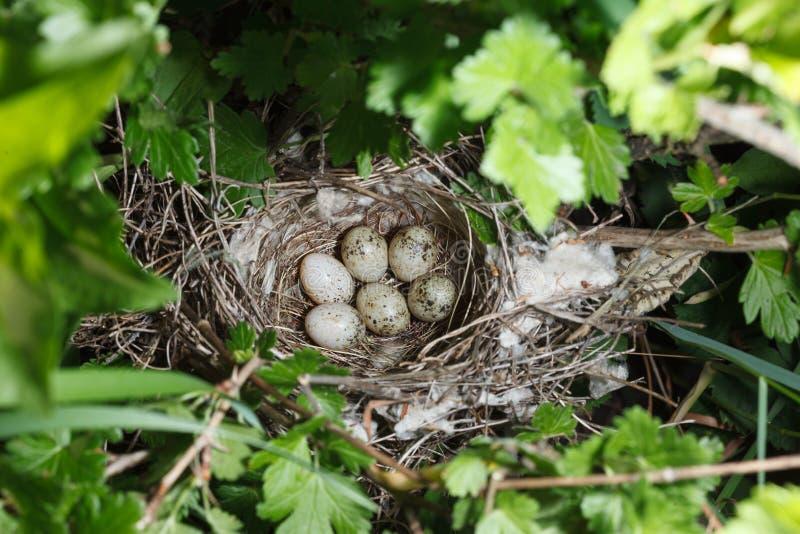 Сильвия communis Гнездо Whitethroat в природе стоковые фотографии rf