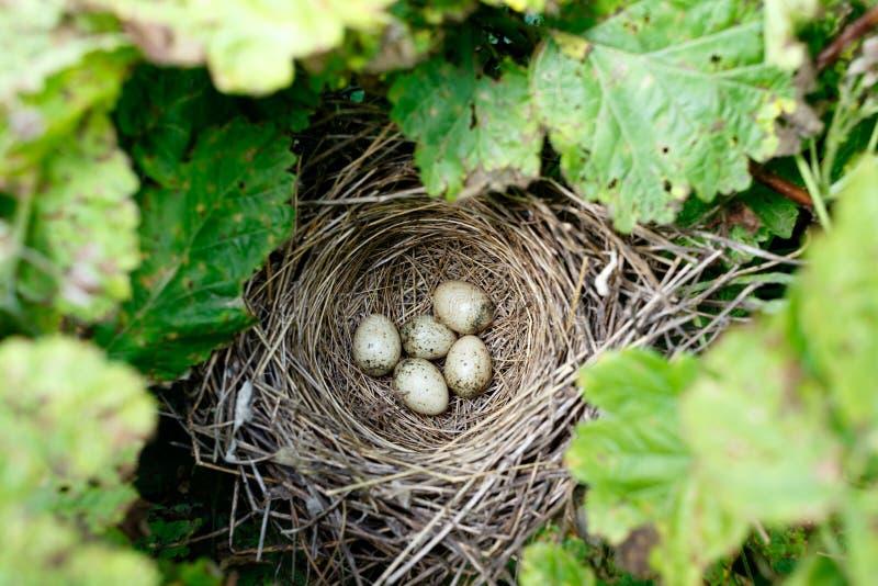 Сильвия communis Гнездо Whitethroat в природе стоковые изображения rf