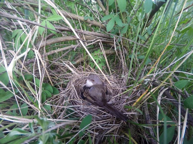 Сильвия communis Гнездо Whitethroat в природе стоковые изображения