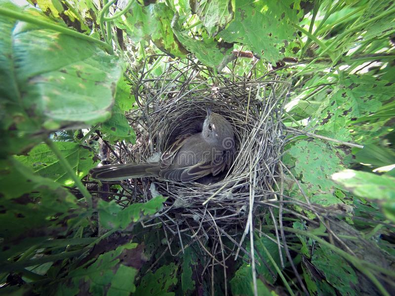 Сильвия communis Гнездо Whitethroat в природе стоковое фото rf