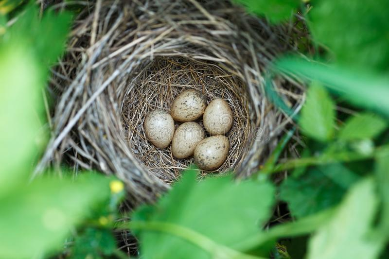 Сильвия communis Гнездо Whitethroat в природе стоковая фотография rf