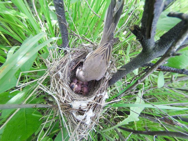 Сильвия communis Гнездо Whitethroat в природе стоковое изображение