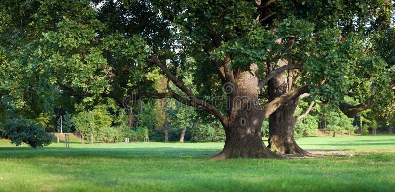 Сильный старый зеленый вал дуба в парке стоковые изображения