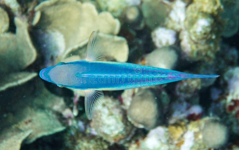 Симметричный Parrotfish с просвечивающими ребрами от верхней части стоковое фото