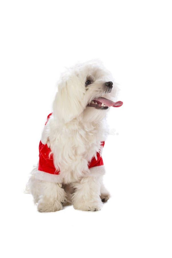 Симпатичное bichon на рождестве одетое как Санта Клаус стоковое изображение