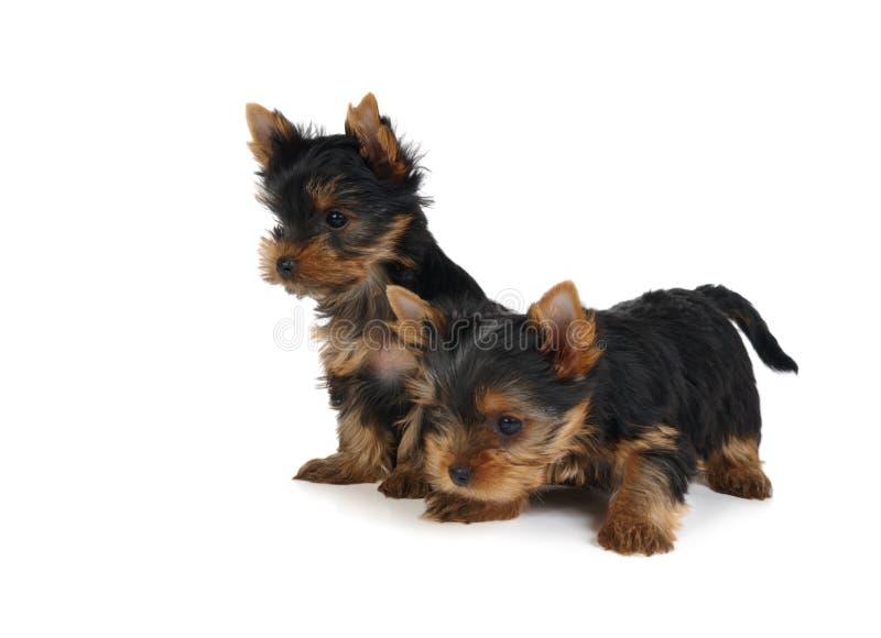 симпатичные щенята 2 стоковые фото