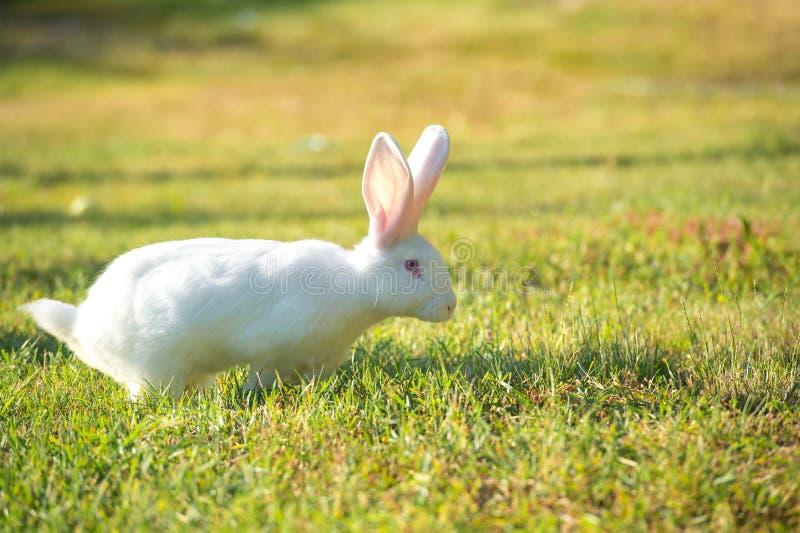 Симпатичный белый кролик с розовыми ушами на сочной зеленой траве стоковое изображение
