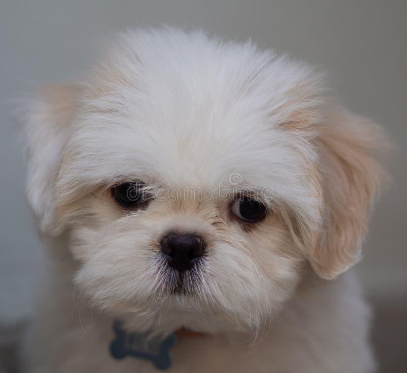 Симпатичный белый щенок Shih Tzu стоковое изображение rf