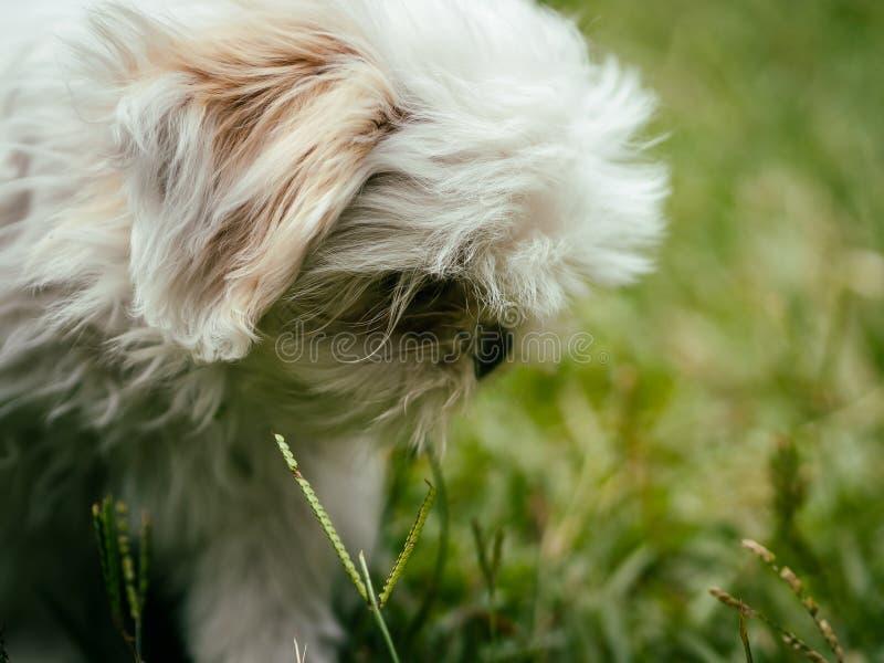 Симпатичный белый щенок Shih Tzu стоковые изображения